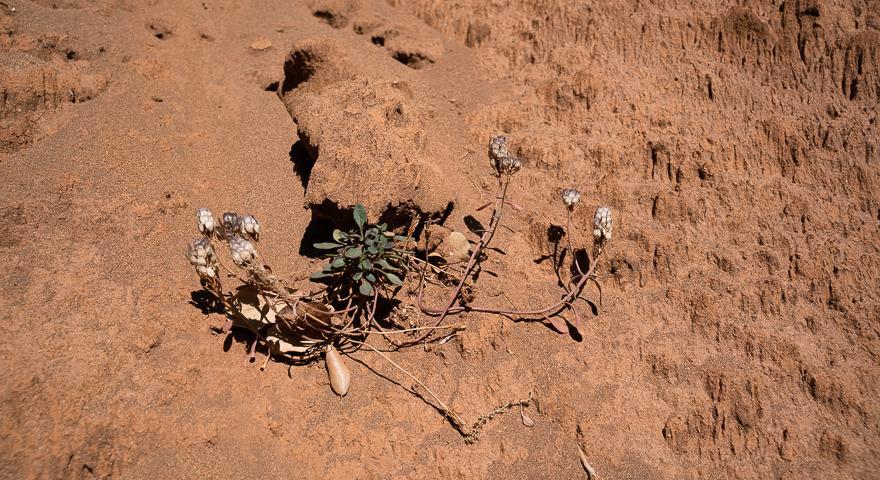 Ibis integerrima sui fanghi di Barraxiutta