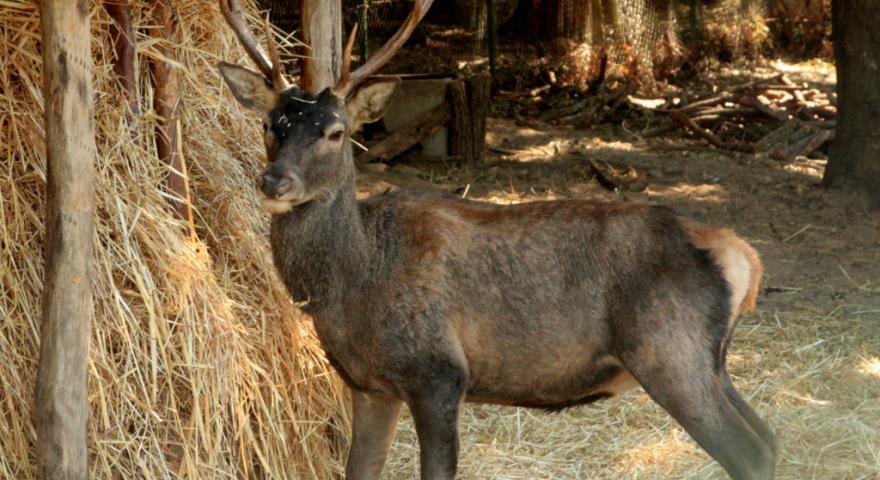 Cervo sardo presso il recinto di Maidopis