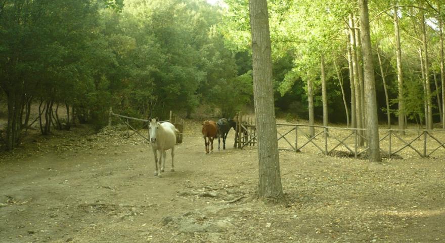 Cavalli del Sarcidano, Laconi