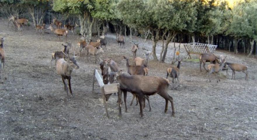 Cervi nella Foresta di Funtanamela