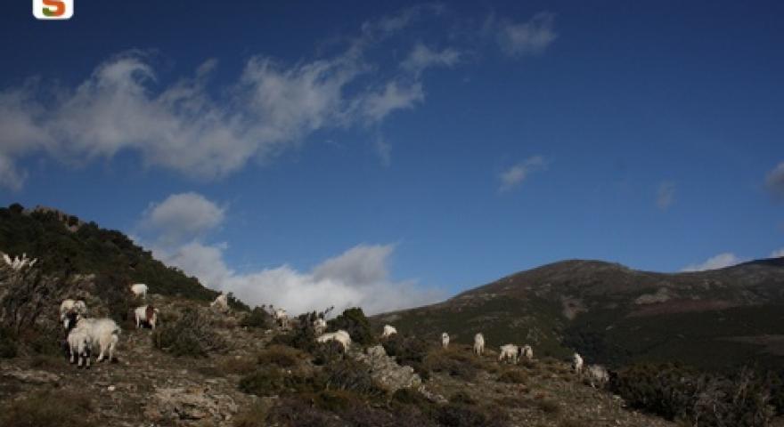foresta di girgini capre al pascolo