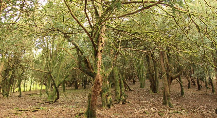 Sos Nibberos, il bosco dei tassi secolari